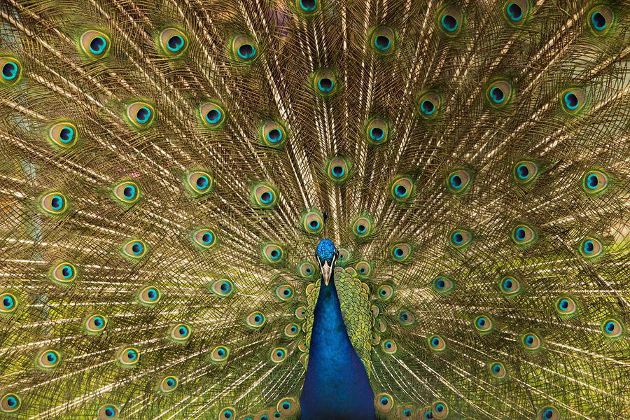 Peacock / Post processing by Ben Moorhouse / Uploaded 20th February 2017 @ 05:42 PM