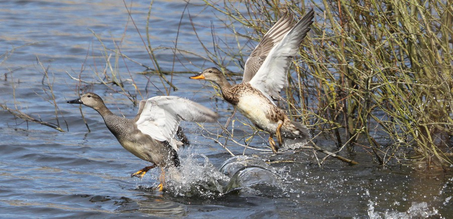 Gadwall taking off /  / Uploaded 31st October 2016 @ 01:23 PM