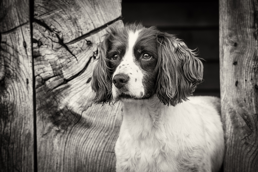 Springer / Photography by PhilH / Uploaded 5th February 2019 @ 09:35 AM