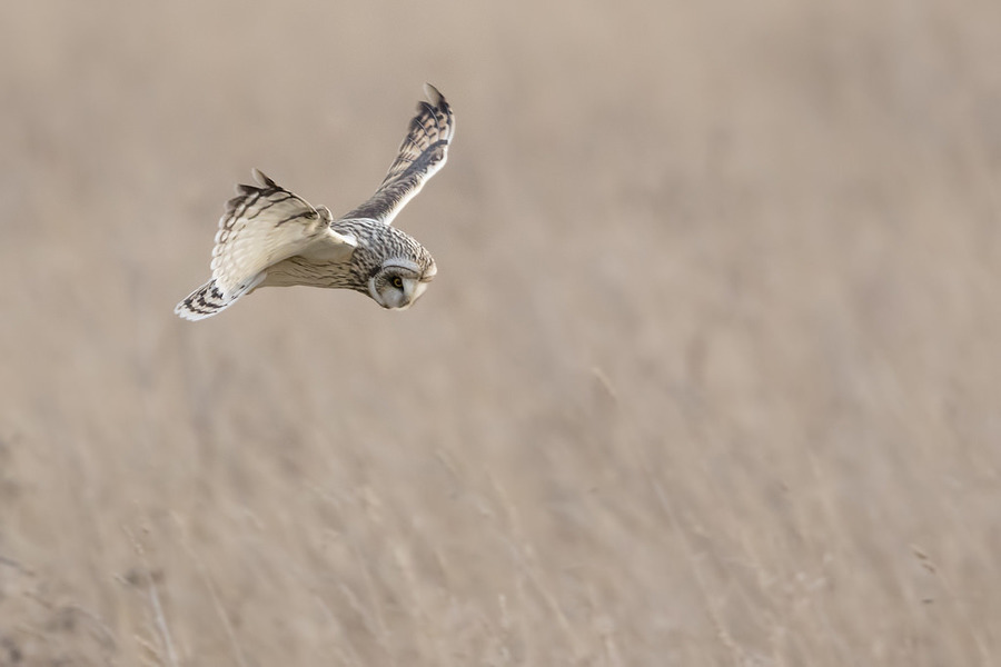 Short Eared Owl / Photography by MadDawg Photographer (CPAGB) (BPE2*)(QPSA) (AFIAP) / Uploaded 12th December 2016 @ 09:15 PM