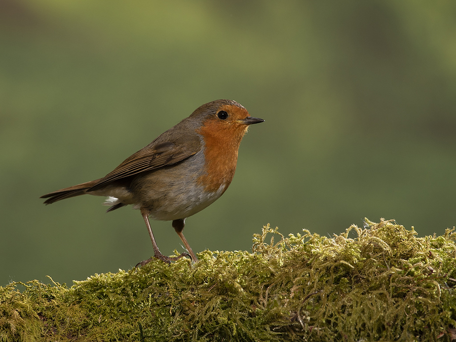 robin / Photography by theowl / Uploaded 10th May 2020 @ 09:08 PM