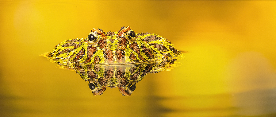 Ornate Horned Frog / Photography by GaryMac Photography / Uploaded 26th June 2016 @ 11:43 PM