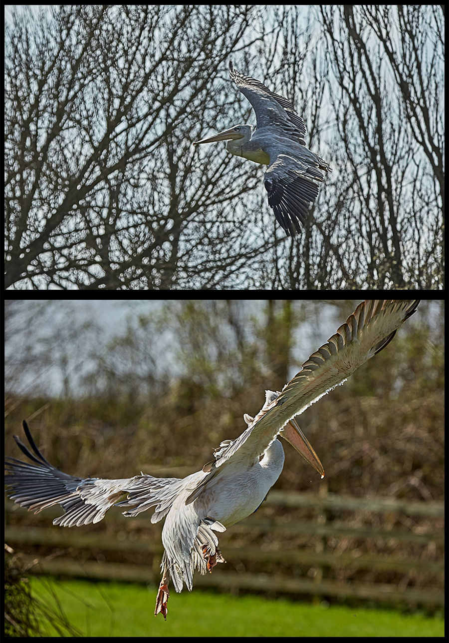 Pelican Fly Pass / Photography by GaryMac Photography / Uploaded 21st April 2018 @ 11:15 PM