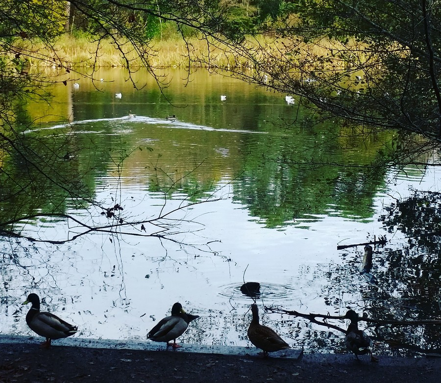 Ducks / Photography by 83Aphotography / Uploaded 5th November 2018 @ 02:03 PM