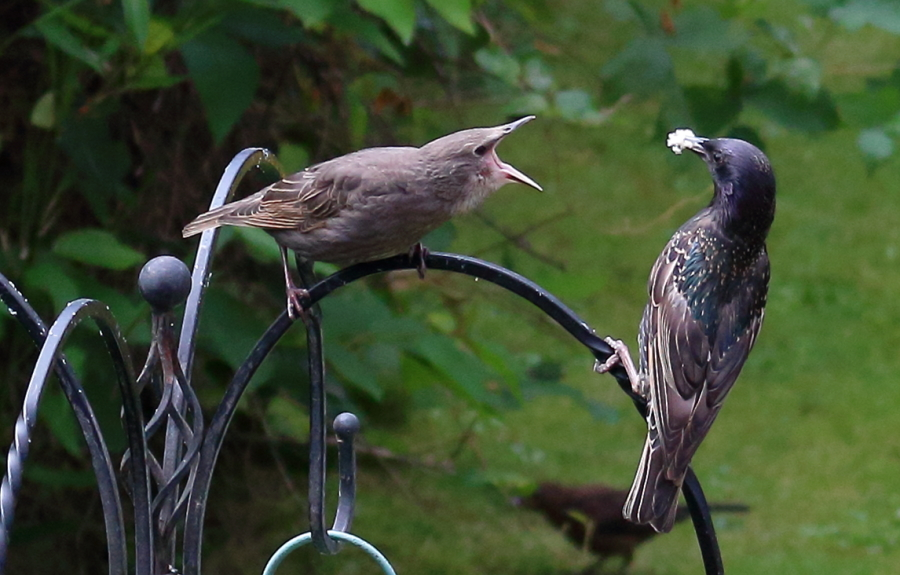 Starlings / Photography by Bergman Greenstreet / Uploaded 30th August 2019 @ 08:32 PM