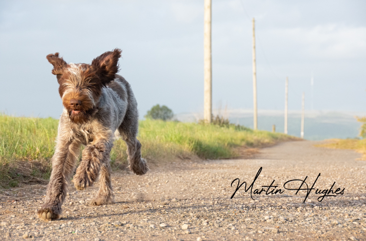 Penny - Italian Spinone 🐾 / Photography by MartinHughesPhotography / Uploaded 30th June 2020 @ 12:36 AM