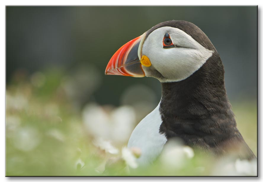 Puffin on Skomer / Photography by Jeff Morgan / Uploaded 19th February 2015 @ 08:18 AM