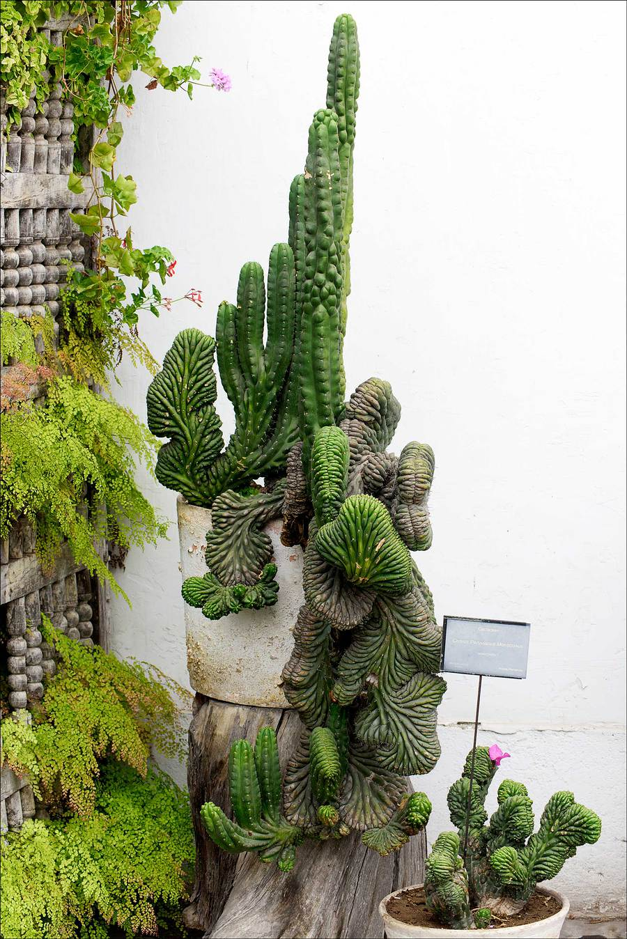 Cacti, Lorca Museum, Lima, Peru / Photography by Jerome Razoir / Uploaded 6th June 2015 @ 04:06 PM