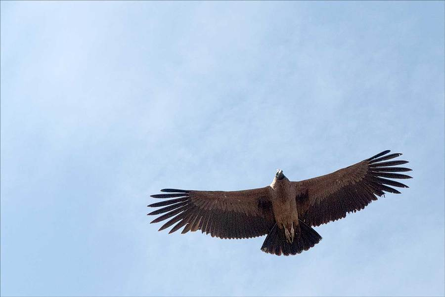 Condor in flight. / Photography by Jerome Razoir / Uploaded 5th June 2015 @ 04:00 PM