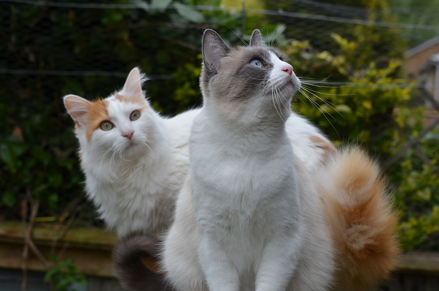 Kasha (Turkish Van) & Denali (Snowshoe) / Photography by John Cater & Pam Lowe / Uploaded 30th January 2014 @ 10:26 PM