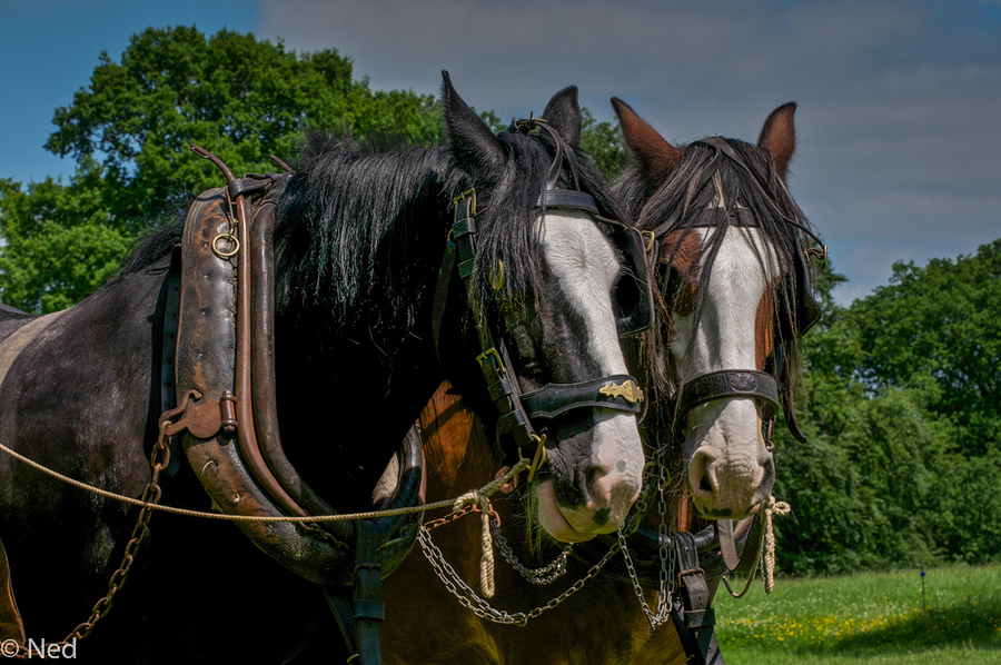 Animal comp - Shire Horses / Photography by Ned / Uploaded 5th November 2015 @ 04:50 PM