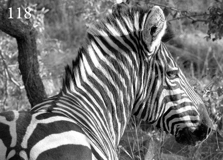 Zebra / Photography by Fine Art by Robert, Post processing by Fine Art by Robert, Designer Fine Art by Robert / Uploaded 14th October 2020 @ 01:21 PM