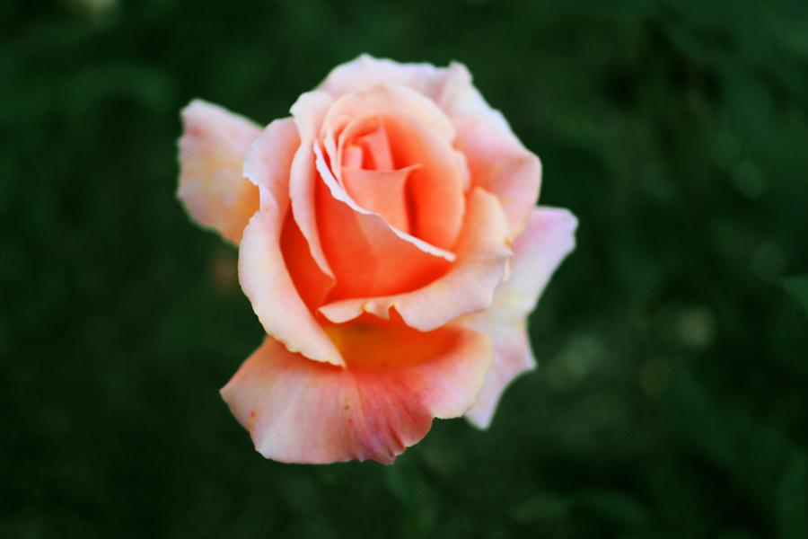 Flower / Photography by ᴡʜɪᴛᴇʀᴀᴠᴇɴ ᴘʜᴏᴛᴏɢʀᴀᴘʜʏ / Uploaded 23rd July 2012 @ 06:44 PM