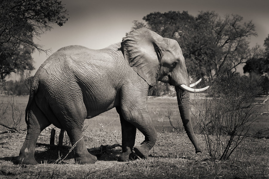 1806-ELEPHANT / Photography by Huw / Uploaded 29th December 2018 @ 07:35 PM