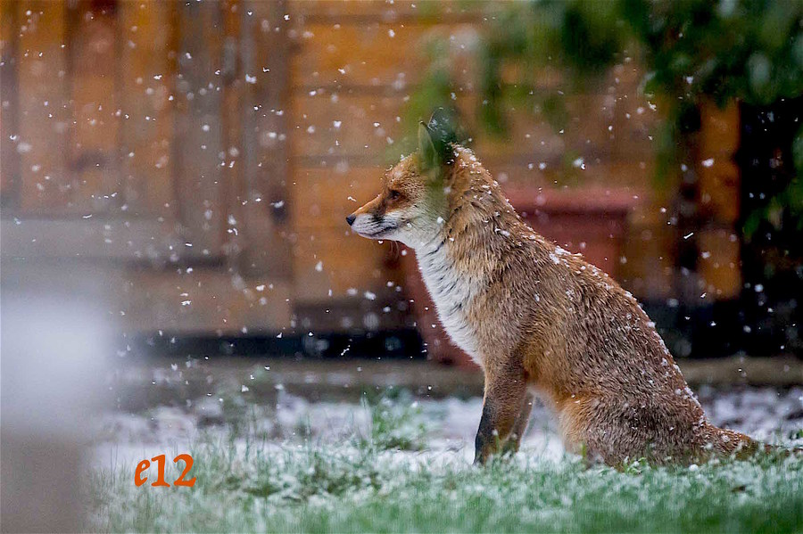 fox in snow / Photography by E12 / Uploaded 24th January 2021 @ 07:01 PM