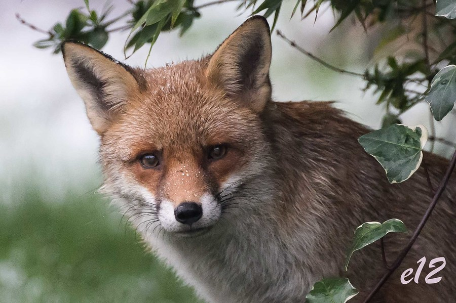 foxy lady / Photography by E12 / Uploaded 26th January 2021 @ 07:16 PM
