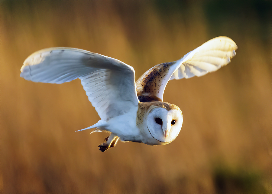 Barn Owl Hunting / Photography by Phil Lee Photography / Uploaded 27th February 2020 @ 09:22 PM