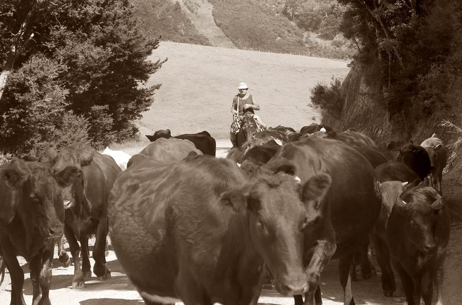 Timeless - cattle droving in New Zealand / Photography by Independent / Uploaded 10th July 2017 @ 06:24 PM