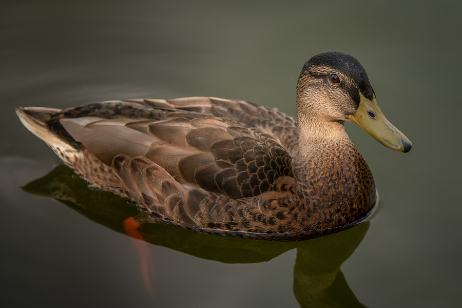 If it looks like a duck, quacks like a duck... / Photography by Dave Lynes, Post processing by Dave Lynes / Uploaded 27th June 2019 @ 06:30 PM