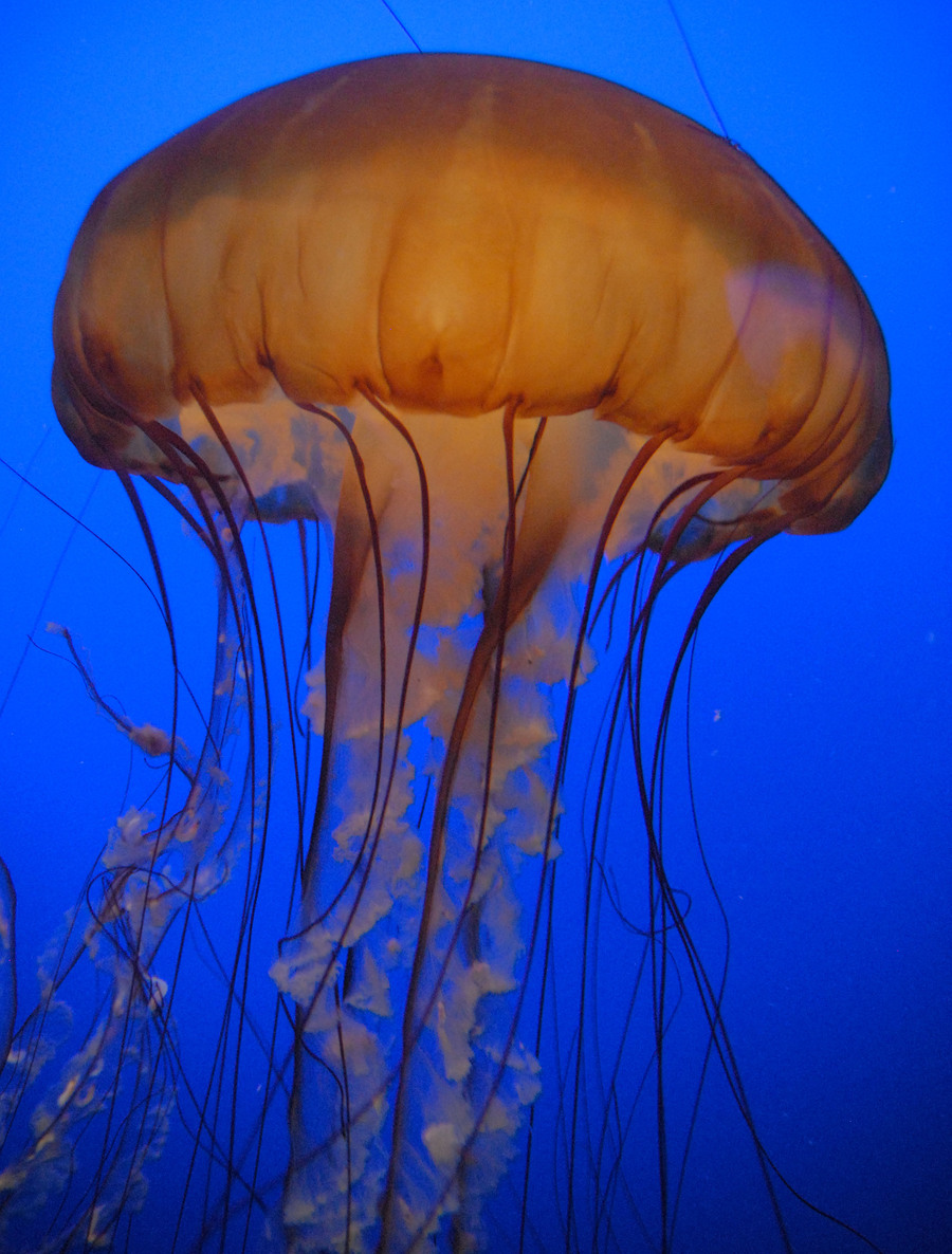 Jellyfish /  / Uploaded 18th May 2015 @ 06:50 PM
