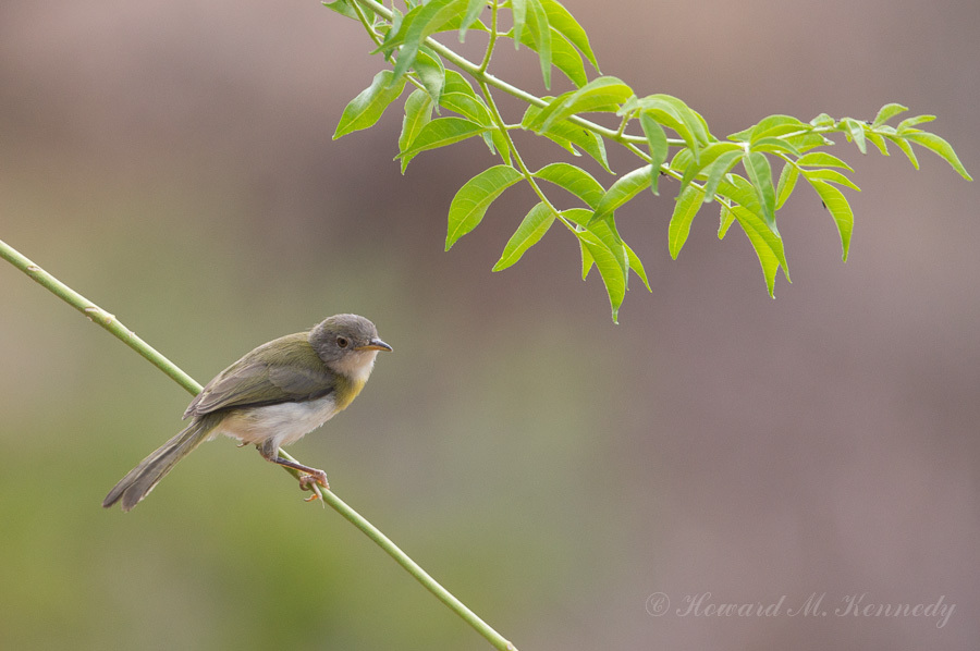 Tiny Greenbul / Photography by PhotoClassic / Uploaded 23rd June 2017 @ 06:08 PM