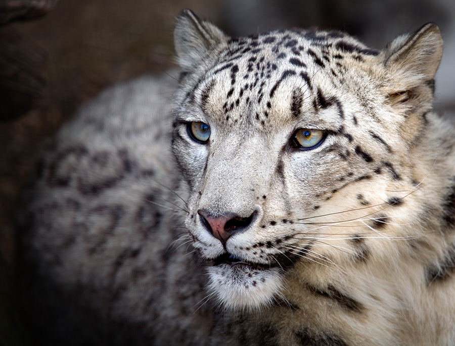 Snow Leopard Portrait / Photography by Sandpiper / Uploaded 11th June 2014 @ 12:15 AM