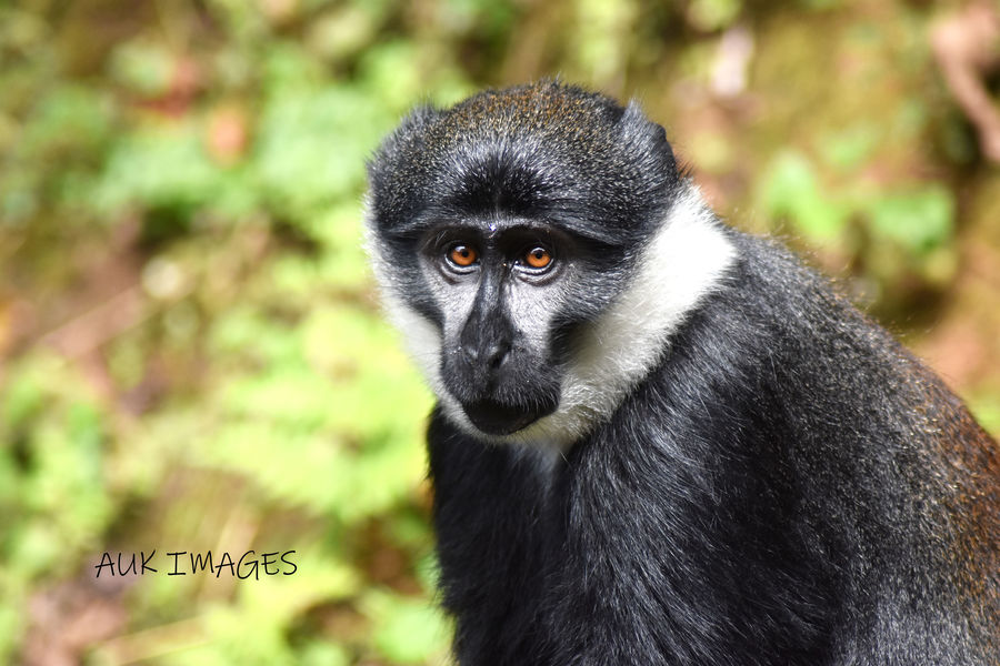 L'Hoest Monkey, Uganda  / Photography by AUK Images / Uploaded 16th January 2021 @ 09:54 AM