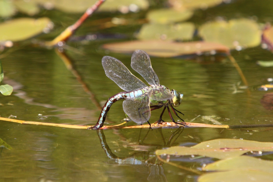 Migrant Hawker dragonfly / Photography by ROGER PHOTOGRAPHY / Uploaded 16th October 2016 @ 11:41 AM